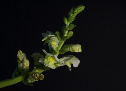 Yellow and White Snapdragon photo on a black background.