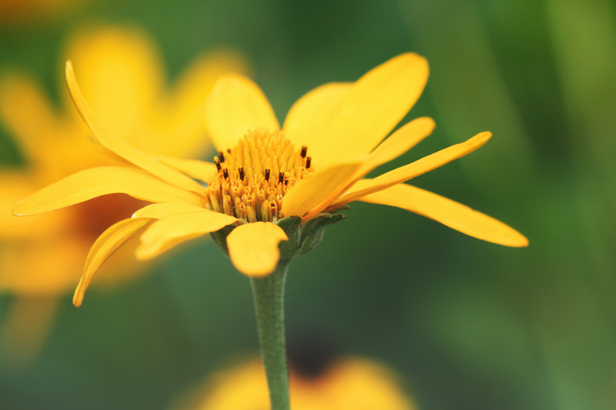 A photograph of a yellow wildflower.