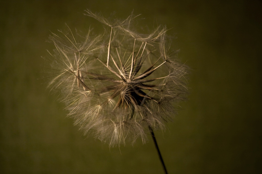 Photograph of the seeds of a Goatsbeard plant ready to take flight.