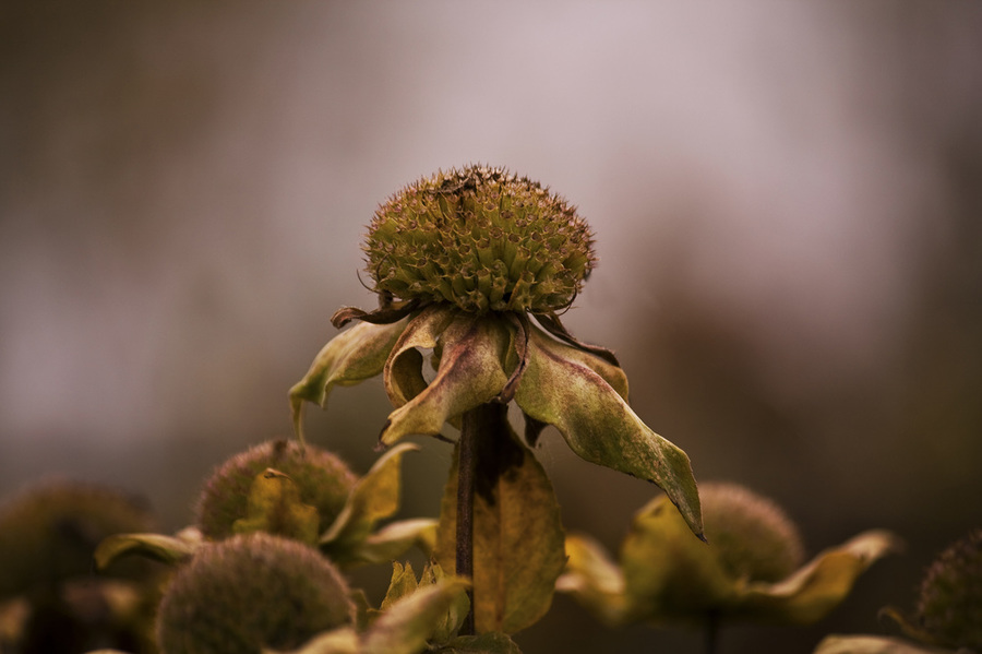 Photograph of beautiful muted tones of fall flowers going to seed.