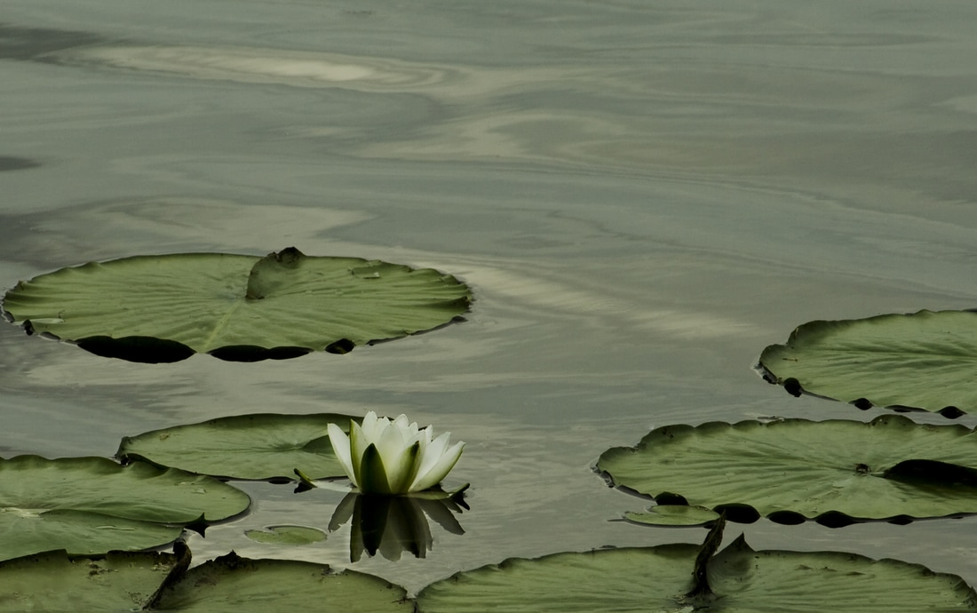 Photograph of a single white water lily waiting for the rain storm