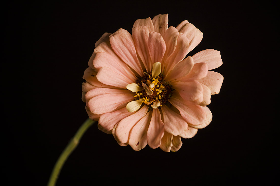 Photograph of a peach colored dahlia on a black background.