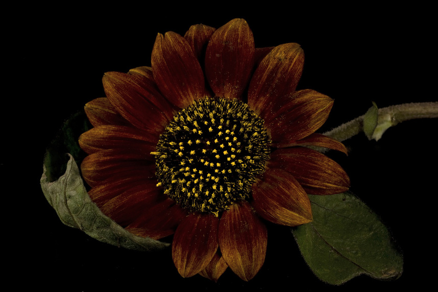 Photograph of a sultry red Sunflower on black.