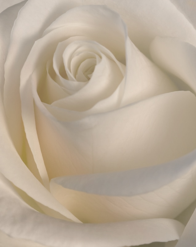 A clean and simple photograph of a white rose.