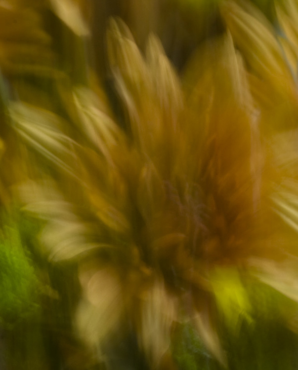 An abstract photograph of yellow flowers using lens painting technique.