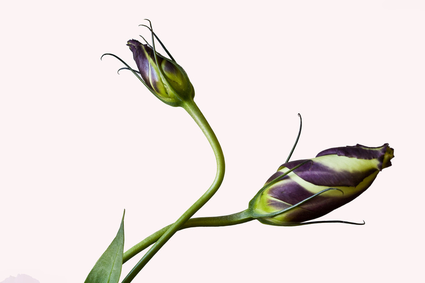 Photograph of two Lisianthus buds swirled in Aubergine and pale Yellow.