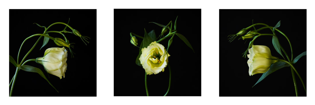 Triptych photograph of a white flower.
