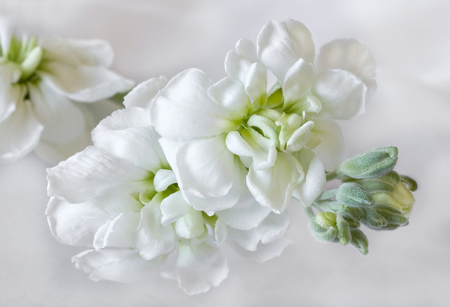 A photograph of a spray of white flowers on a white background.