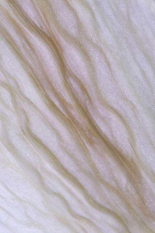 Delicate details of a White Lily petal in demise.