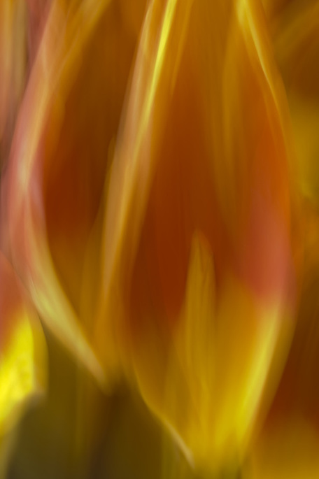 Photograph of fallen Tulip petals mimic the flame of a candle in an abstract photo.