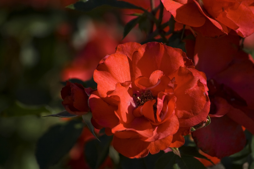 A photograph of a Crimson Rose basking in the morning light.