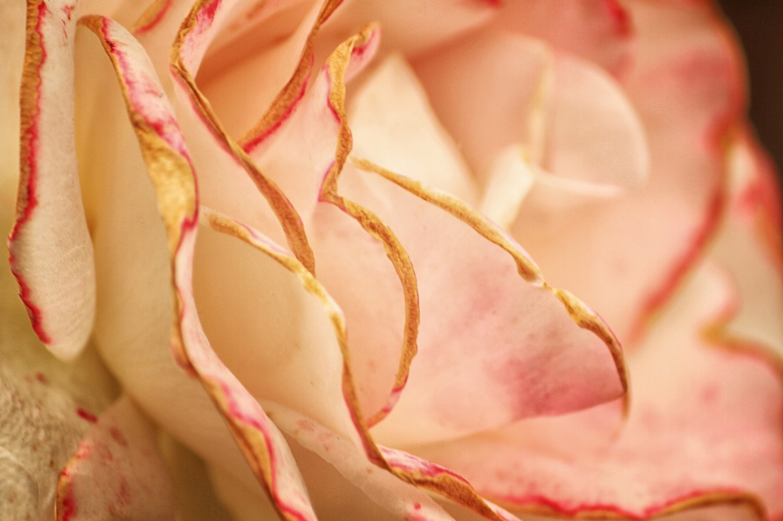 Edges of a soft pink rose are showcased in this photograph.