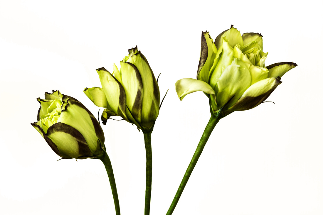 Photograph of three beautiful Lisianthus flowers photographed with a white background.