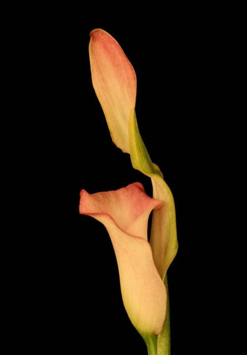Photograph of a Calla Lily in cream and pink.