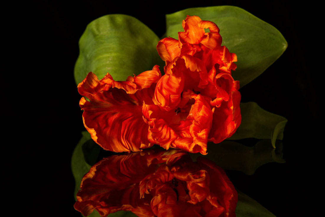 Photograph of the reflection of a parrot tulip on black.