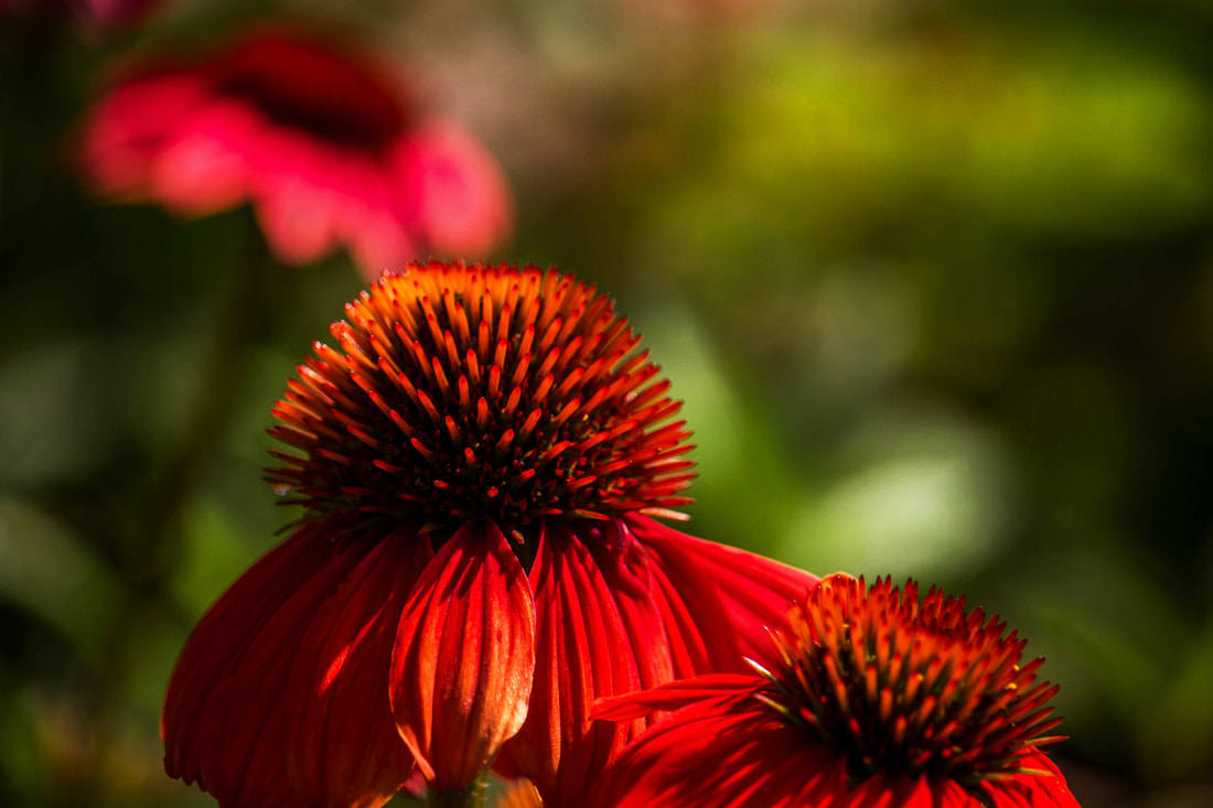 Photograph of red Echinacea in a summer garden.