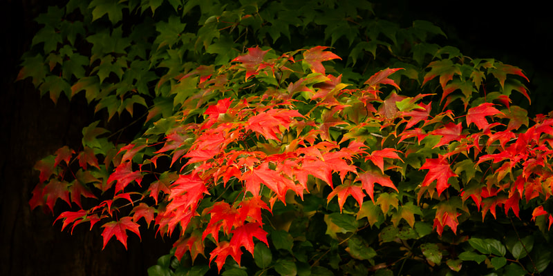 Image of fall leaves turning a bright red.