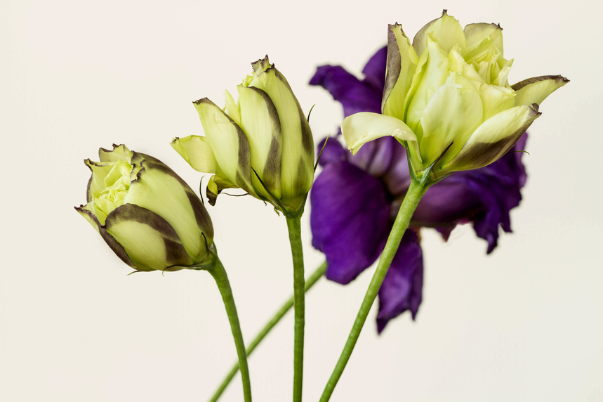 A photograph of the beautiful Lisianthus flowers