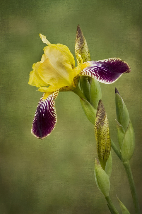 A regal yellow and purple Iris is an elegant statement of Summer.