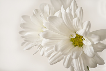 Soft White Daisy Photo on a white background.