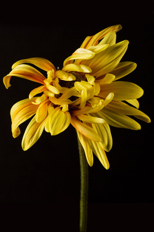 Photo of a bright cheerful Yellow Dahlia.