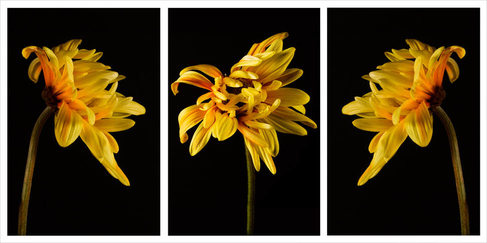 Triptych photograph of a yellow mum.