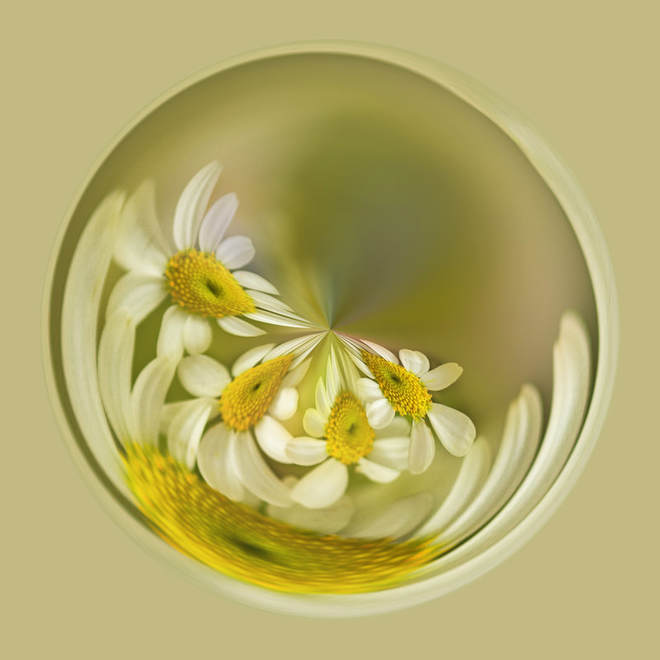 Photograph of Daisies trapped in a bubble. flowers, whimsical, digital art
