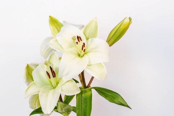 Photograph of Lovely white Easter Lilies on a white background.