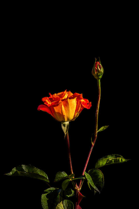 Photograph of an elegant Orange Rose on Black.