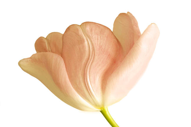 Photograph of a soft pink tulip on a white background.
