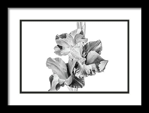 Gladiolus photographed in black and white.
